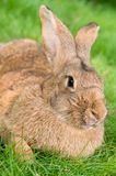 Brown rabbit bunny on grass Royalty Free Stock Images
