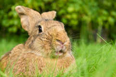 Brown rabbit bunny on grass Stock Photo