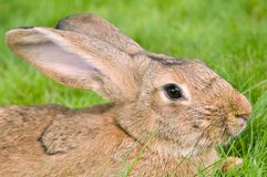 Brown rabbit bunny on grass Stock Photography
