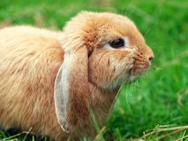 Brown rabbit or bunny green grass. Brown rabbit or bunny on green grass stock photography
