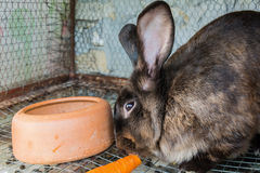 Brown rabbit in the cage Stock Photography
