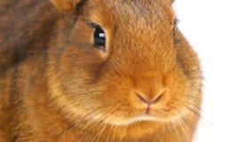Brown rabbit  chew stock video