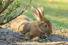 Brown Rabbit Close-up Outdoors Stock Images