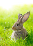 Brown rabbit. Brown domestic rabbit sitting in green grass Royalty Free Stock Image