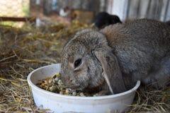 Brown rabbit eating a bowl of food. Rabbit Royalty Free Stock Photo