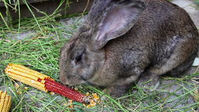 Brown rabbit eating corn Royalty Free Stock Image