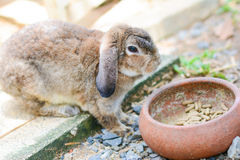 Brown rabbit is eating food Royalty Free Stock Photo