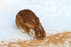 Brown rabbit eating wheat grains in winter on snowy floor royalty free stock images
