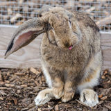 Brown rabbit Stock Photography