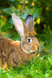 Brown rabbit in grass Royalty Free Stock Image