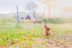 Brown rabbit in a green garden with a horse and flare of the mor Royalty Free Stock Photography