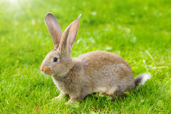 Brown rabbit Stock Photo