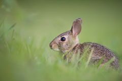 Brown Rabbit on Green Grasss Royalty Free Stock Image