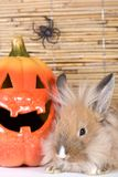 Brown rabbit, halloween pumpkin Royalty Free Stock Photo