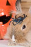 Brown rabbit, halloween pumpkin Royalty Free Stock Images