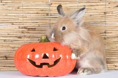 Brown rabbit, halloween pumpkin Stock Photo
