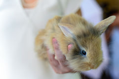Brown rabbit on hand of woman who wear white shirt on pink background Stock Image