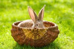 Brown rabbit hiding in basket Stock Photos