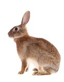 Brown rabbit,isolated. Stock Photography