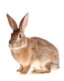 Brown rabbit, isolated. Brown rabbit on a white background, is isolated stock photography