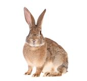 Brown rabbit, isolated. Royalty Free Stock Images