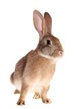 Brown rabbit, isolated. Stock Photos