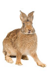 Brown rabbit isolated Stock Image