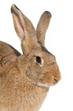 Brown rabbit isolated Royalty Free Stock Photography