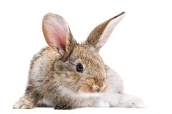 Brown rabbit isolated Royalty Free Stock Photo