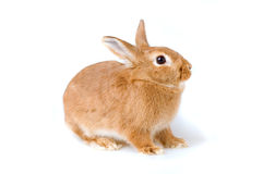 Brown rabbit isolated Royalty Free Stock Images