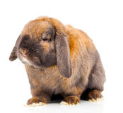 Brown rabbit. Stock Photography