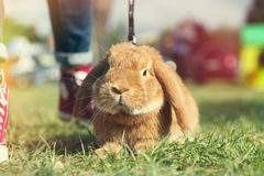 Brown rabbit. A little bunny on the ground on the lawn. The rabbit has the leash. Blurred background Royalty Free Stock Images
