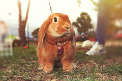 Brown rabbit. A little bunny on the ground on the lawn. The rabbit has the leash. Blurred background Stock Photo