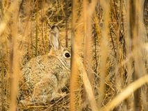 Brown Rabbit Looking Out from Among Swamp Reeds Stock Images