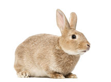Brown rabbit lying, isolated. On white Stock Photo