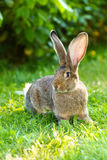 Brown rabbit near bush Stock Images