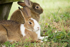 Brown Rabbit. In the Park royalty free stock photo