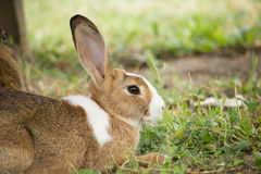 Brown Rabbit. In the Park royalty free stock image