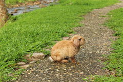 Rabbit on the pathway Stock Photos