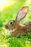 Brown rabbit portrait Stock Images