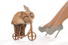 Brown rabbit riding bike Stock Photos