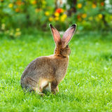 Brown rabbit's back in garden Stock Photo