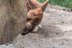 Brown rabbit on sandy soil. Royalty Free Stock Photos