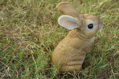 Brown rabbit sitting in grass Royalty Free Stock Images