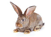 Brown rabbit sitting on white Stock Photo