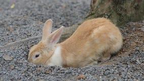 Brown rabbit stock video footage