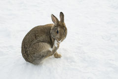Brown rabbit in snow cleaning his paw Royalty Free Stock Photo