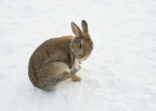 Brown rabbit in snow cleaning his paw Royalty Free Stock Photography