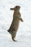 Brown rabbit standing on his backfeet in snow Stock Image