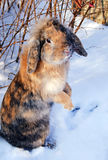 Brown rabbit standing on his backfeet in snow Stock Photography